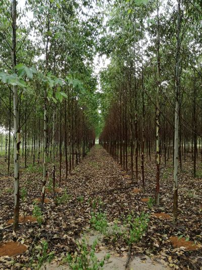 Eucalyptus Trees Row Autumn Leaf Destinations Walkway Green Brown