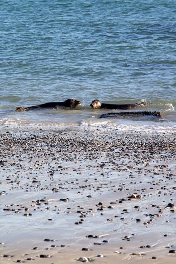 Seals are relaxed,, playful and they don't freeze. I wanna be a seal next time. Helgoland Helgoland Düne Animal Themes Animal Wildlife Animals In The Wild Beach Beauty In Nature Nature Lover North Sea Sea Life Seals Seals Chilling