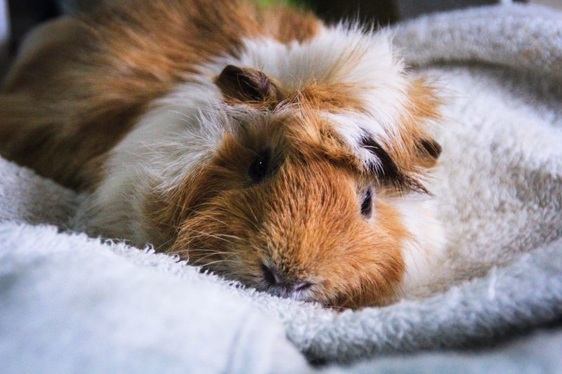 Close-up of guinea pig resting on bed