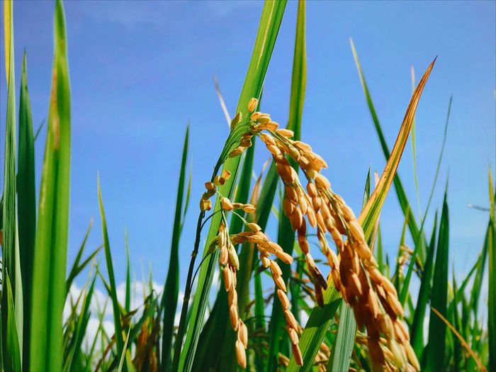 Rice Field Plant Growth Nature Crop  Close-up Cereal Plant Autumn Mood