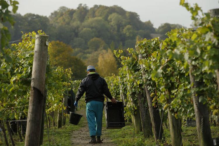 Rear view of man in vineyard
