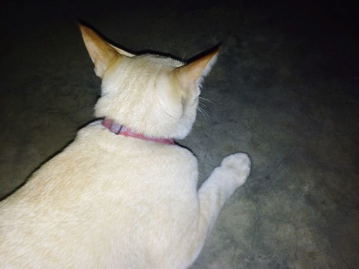 Grow in the dark Thai Street Cat Whit Cat Growing Flashing  Flash Light Back Side Turn Back Lazy Cat