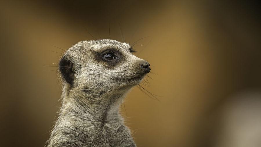 Meerkats Meerkat Meerkats Zoo Cute One Animal Mammal Looking Vertebrate No People Focus On Foreground Animal Wildlife FUNNY ANIMALS