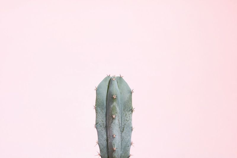 Close-up of cactus against white background