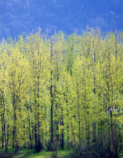 Tree Plant Land Forest Beauty In Nature Day Nature Tranquility Growth Tranquil Scene Scenics - Nature Non-urban Scene Green Color Environment No People Outdoors Yellow Spring