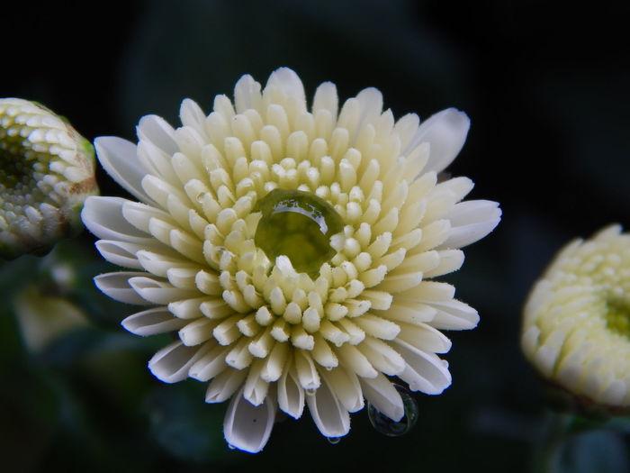 Close-up of dew drop on white chrysanthemum
