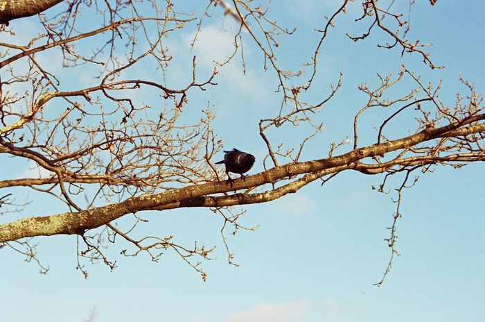 Canon Eos 3 Fujicolor Pro 400H Animal Themes Animal Wildlife Animals In The Wild Bare Tree Beauty In Nature Bird Branch Clear Sky Day Film Photography Low Angle View Nature No People One Animal Outdoors Perching Sky Tree