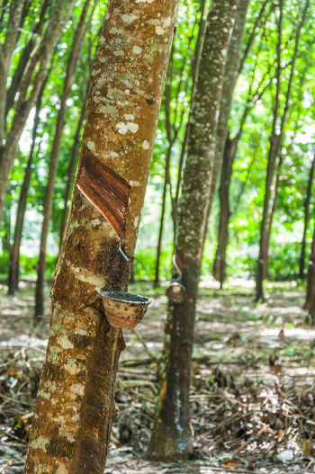 Rubber Tree Asian Culture Beauty In Nature Business Culture Day Focus On Foreground Forest Green Color Growth Hevea Brasiliensis Industrial Nature No People Outdoors Tranquil Scene Tranquility Tree Tree Trunk Wood - Material