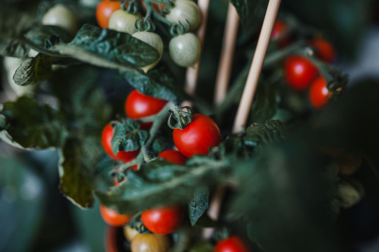 Close-up of tomatoes on potted plant