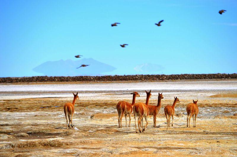 Guanacos on field against bird flying in sky