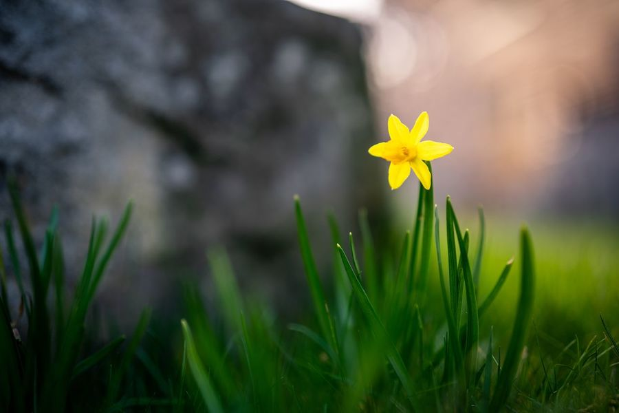 Lent Lily Colorful Warm Light Sun Evening Golden Hour Backyard Garden Wild Daffodil Daffodil Lent Lily Lily Green Plant Flowering Plant Flower Growth Freshness Beauty In Nature Fragility Vulnerability  Petal Close-up Nature Flower Head Focus On Foreground No People Yellow Grass