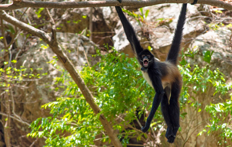 Monkey fangs Hanging Animal Wildlife Fangs Forest Mammal Monkey Nature No People Outdoors Primate Tree