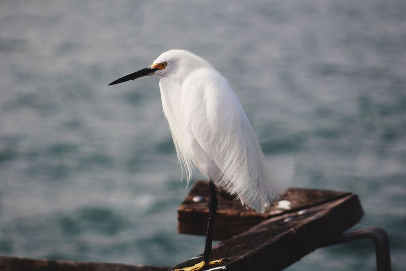 Full Length Of Snowy Egret Perching On Metal By Sea