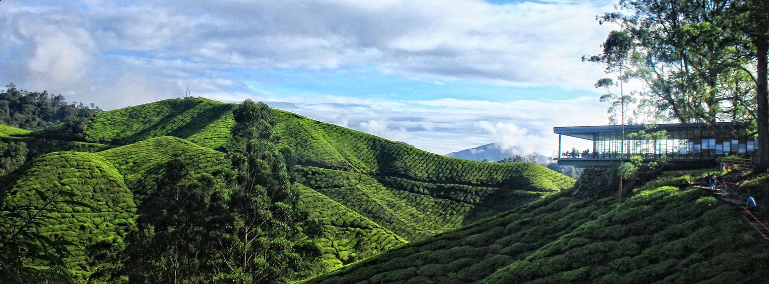 Landscape Tea Mt Tea Is Healthy Enjoying Life