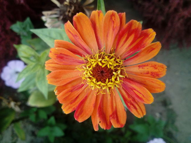 Beauty In Nature Blooming Close-up Flower Flower Head Gerbera Daisy Growth Nature Petal Plant