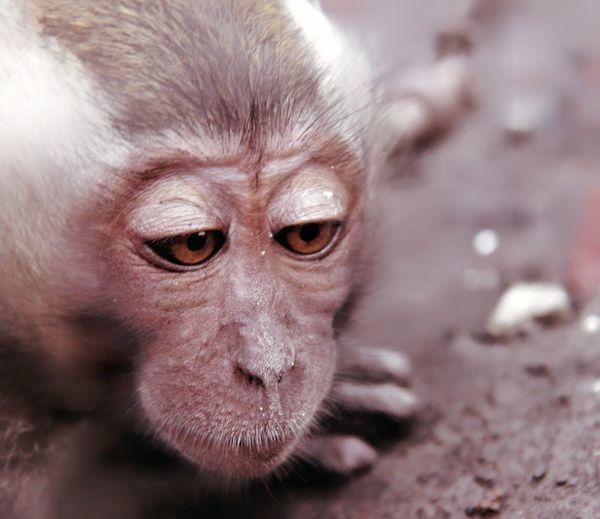 enjoy Portrait Baboon Prison Closing Ape Confined Space Looking At Camera Eye Animal Hair Animal Eye Nose Zoo Animals In Captivity Animal Nose Orangutan
