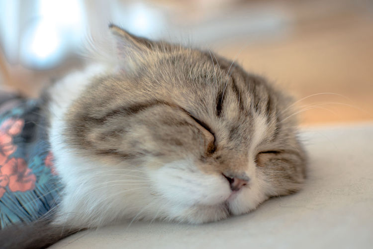 Domestic Pets Animal Themes Animal Mammal Eyes Closed  Relaxation Cat Feline Domestic Cat Sleeping Domestic Animals Vertebrate One Animal Close-up Resting Focus On Foreground Indoors  No People Animal Body Part Whisker Animal Head  Napping Tabby
