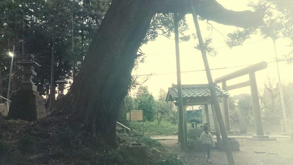 ひたちなか市 Hitachinaka-shi, Ibaraki 神社 Tree Child