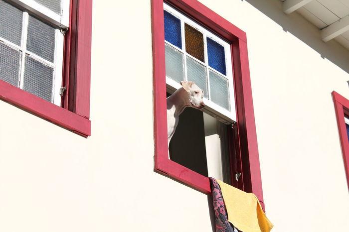 Animal Architecture At The Window Brasil Built Structure Day Dog Minas Gerais Ouro Preto - Brasil Pet Photography  White Dog Windows