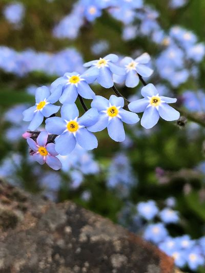 'Forget-Me-Not' Beauty In Nature Botany Close-up Day Flower Flower Head Flowering Plant Focus On Foreground Fragility Freshness Growth Inflorescence Nature No People Outdoors Petal Plant Pollen Purple Selective Focus Vulnerability  White Color