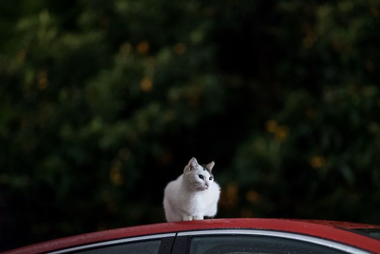 Cat Sitting On Car