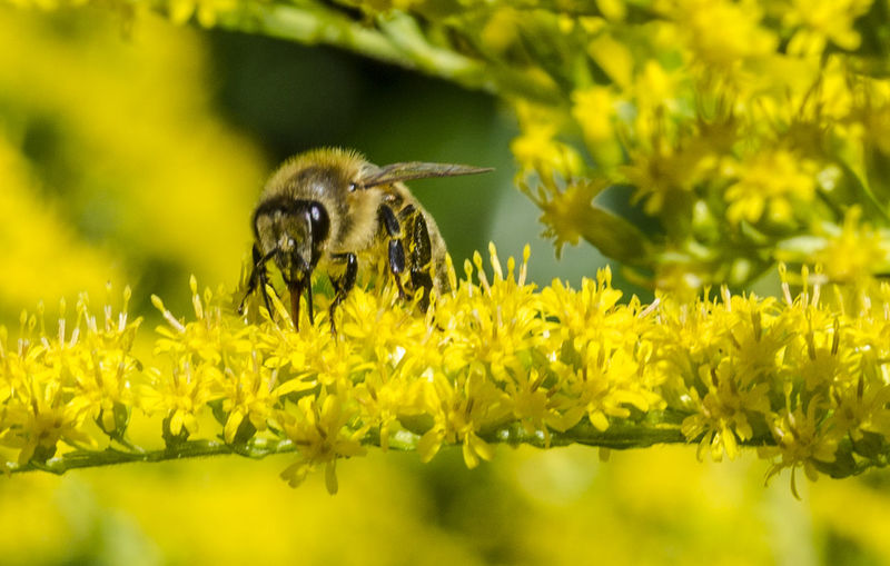 Animal Themes Beauty In Nature Bee Bier Bij Focus On Foreground Insect Nature Outdoors Perching Plant Selective Focus Wildlife Yellow