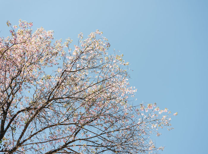 sakura in the morning Morning Sakura Tokyo Beauty In Nature Blossom Blue Branch Cherry Tree Clear Sky Day Flower Flowering Plant Fragility Freshness Growth Low Angle View Nature No People Outdoors Pink Color Plant Sky Spring Springtime Tree