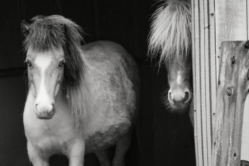 Portrait of icelandic horses in barn