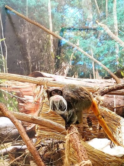 The Emperor Tamarin (Saguinus imperator) is listed on Appendix II of the Convention on International Trade in Endangered Species (CITES), meaning that the international trade in this species should be carefully monitored It is protected in the Manu National Park in south-eastern Peru and in the Manuripí Heath Nature Reserve in Bolivia. The emperor tamarin is not currently protected in the small area of Brazil where it is present. Emperor Tamarin Tamarin Endangered Species Primates No People Protected Species Close-up