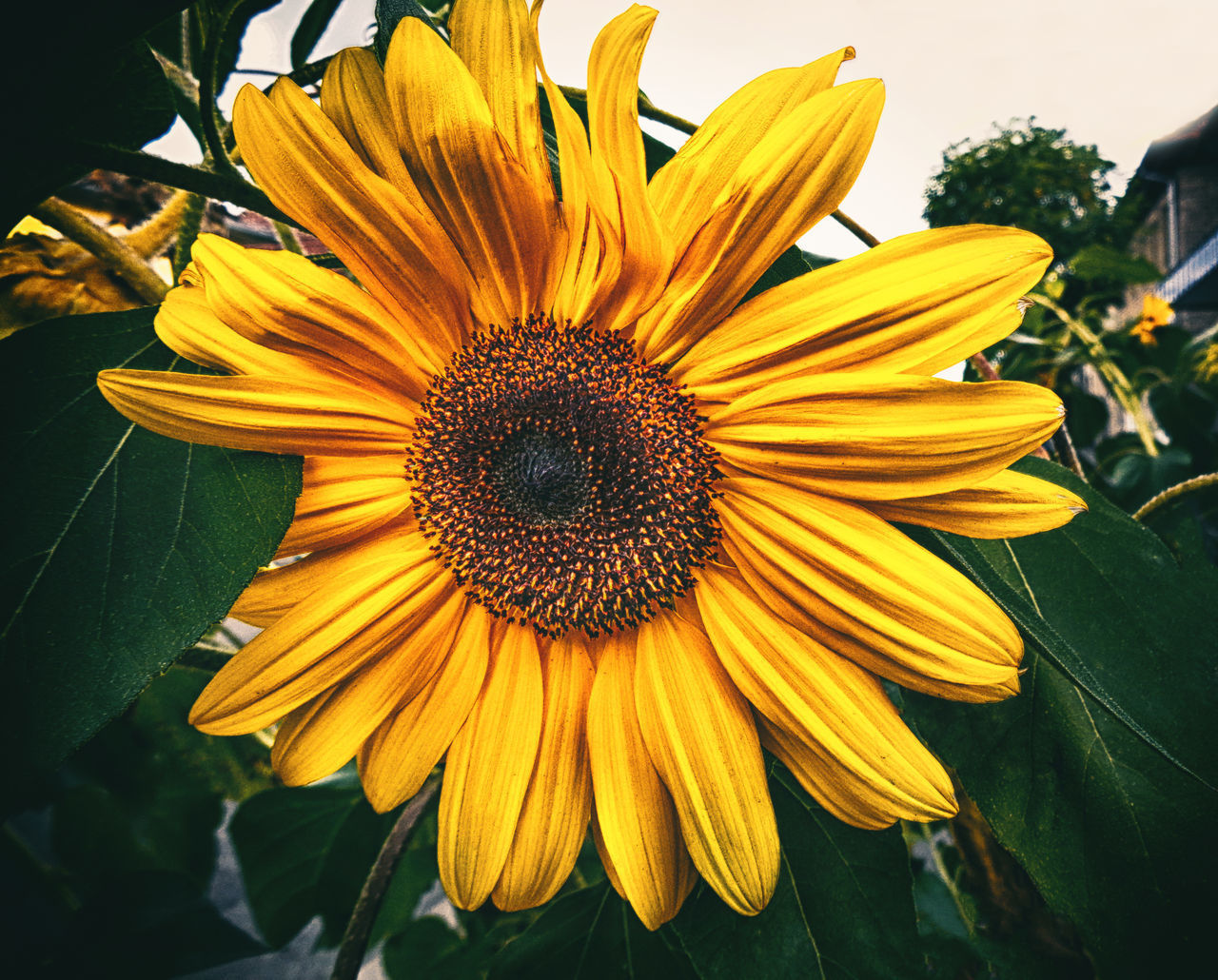 flowering plant, flower, yellow, petal, flower head, vulnerability, inflorescence, fragility, freshness, beauty in nature, plant, growth, pollen, close-up, nature, day, no people, focus on foreground, botany, outdoors, sunflower, gazania