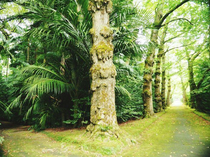 Palm Trees Trees Garden Green Terra Nostra Park Açores - São Miguel Azores Island