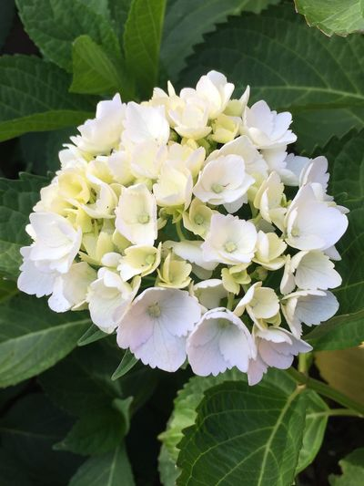 Spring Hydranga Flower Nature Growth Freshness Beauty In Nature Fragility White Color Petal Blooming Plant Leaf Close-up Flower Head No People Day Outdoors Blue Mountains Australia Katoomba Adoracottage