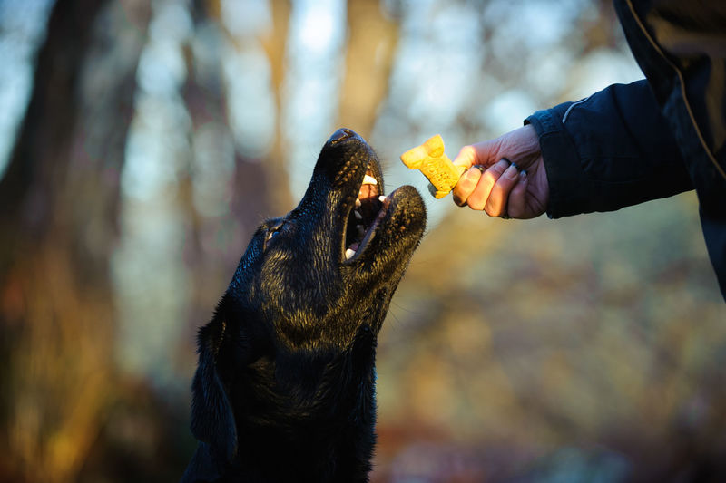 Cropped hand feeding biscuit to black labrador