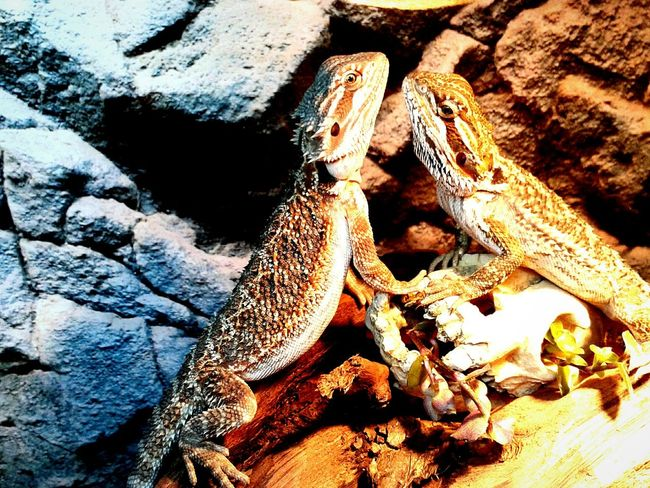 True love Lizards Pogona Pogona Vitticeps Reptiles Wildlife Hanging Out Terrarium