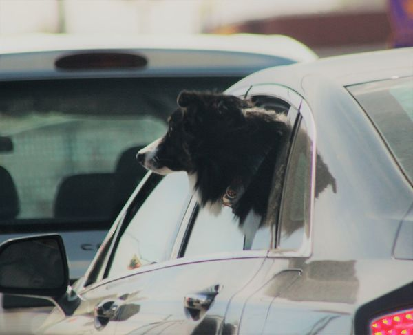 Animal Themes Black Color Car Close-up Day Dog Domestic Animals Focus On Foreground Land Vehicle Looking Through Window Mammal Mode Of Transport No People One Animal Outdoors Pets Side View Transportation Dogs In Cars Photos On The Street Houston Texas Windows