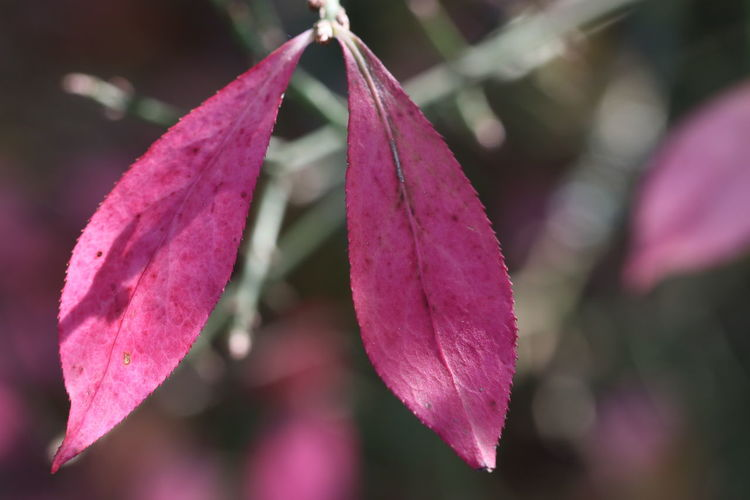 Close-up of pink leaves on plant
