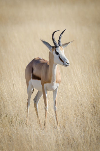 Springbok gazelle in dry yellow grass, etosha national park, namibia