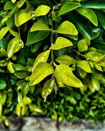 My Nairobi Leaf Green Color Plant Nature No People Growth Agriculture Close-up Outdoors Day Freshness Beauty In Nature Fragility Complexity Sunlight Streetphotography NairobiKenya Sunnynairobi Africa .African Magic Nairobi Kenya Branch Tree Beauty In Nature Growth Illuminated Nature