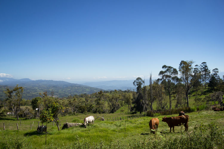 Cows grazing at