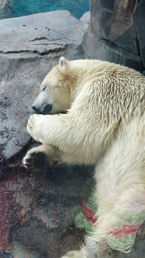 Zoo Animals  Zoophotography ZooLife Zoo Day Makesmesmile Happy Outdoors Good Life Zoo Polar Bear Snoozing Dreaming