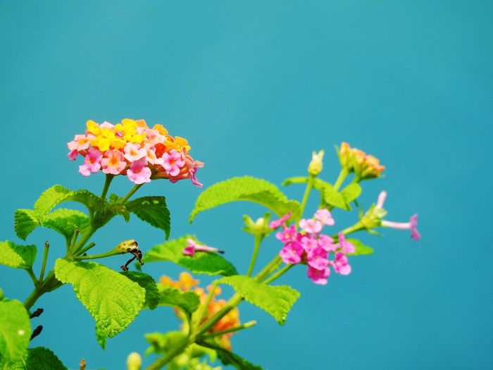 Flower Fragility Freshness Growth Beauty In Nature Leaf Plant Nature No People Pink Color Petal Lantana Camara Outdoors Day Blooming Flower Head Close-up Clear Sky