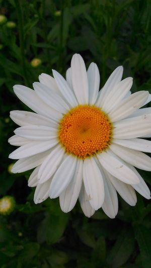 Daisy appreciation... Check This Out Very Inspired By My Muse Naturelovers Flowerporn Flower Collection Daisy Flower Natural Beauty Onlygodcouldcreatethis Our World Thru My EyesFlowers, Nature And Beauty Flower Photography Nature_collection Nature Makes Me Smile Naturephotography Sawonmyadventure