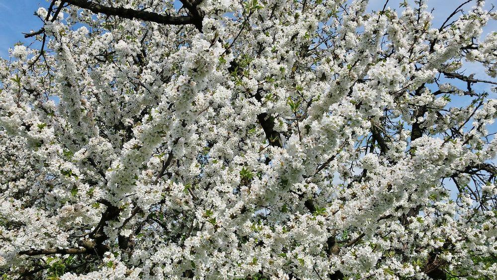 Spring2015 Flowerpower Cherry Blossoms Countryside Spring Flowers Cherry Blossom Viewing Lotsofcherryblossoms White Flower WhiteCollection Whiteday