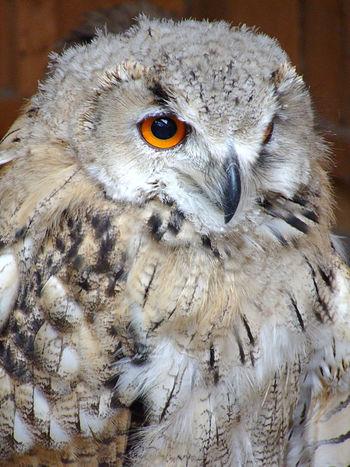 Animal Photography Animal Portrait Animal Themes Animal Wildlife Bird Bird Of Prey Birds Close-up No People One Animal Outdoors Owl