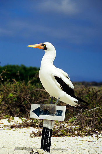 Follow the Beak! Masked Boobie on Signpost Beak Connected By Travel Galapagos Animal Themes Animal Wildlife Animals In The Wild Bird Boobiiiees! Masked Boobie Nature North Seymour One Animal Outdoors Perching Signpost South America The Great Outdoors - 2018 EyeEm Awards