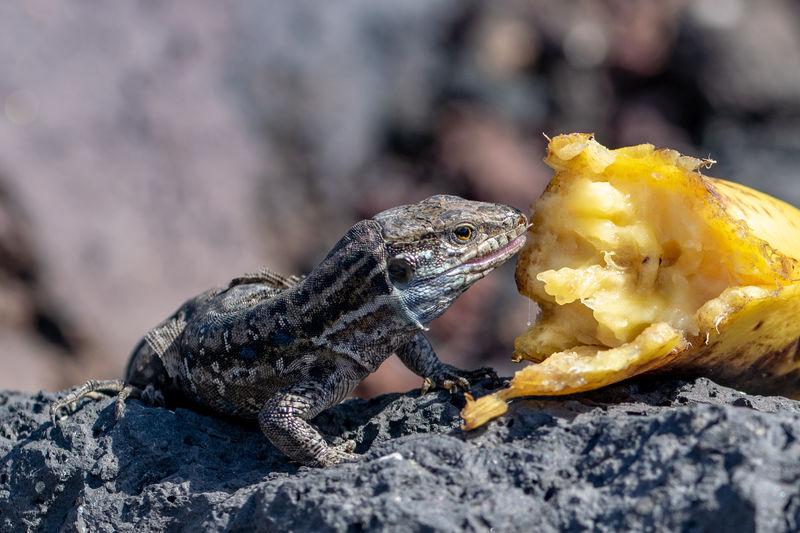 Wall lizard resting on lava rock eating discarded banana, la palma, canary islands, spain