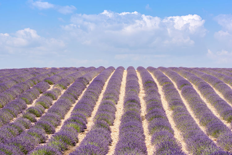 Summer in Provence. Blue Cloud - Sky Cloudy Field France Horizon Over Land Idyllic Landscape Lavande Lavender Lavender Field Lavender Fields Luberon Provence Purple Rural Scene Sky Tranquil Scene Tranquility Valensole