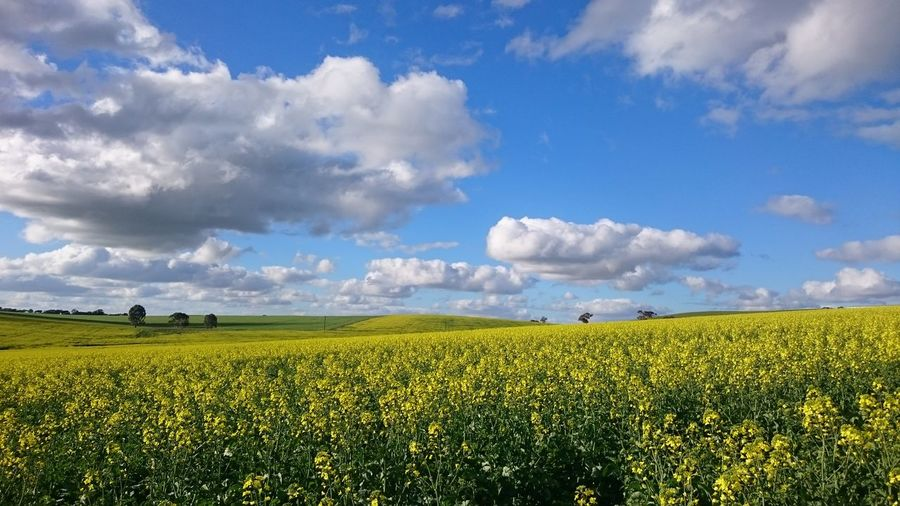 Farm Yellow Flower Agriculture Blue Sky Canola Field Clouds And Sky Crop  Field Growth Landscape Oilseed Rape Rural Scene Springtime EyeEmNewHere