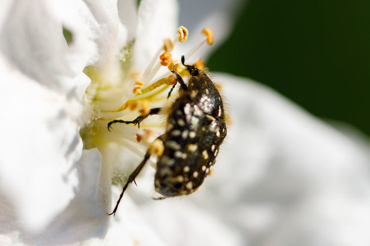 Close-up of spider on white flower