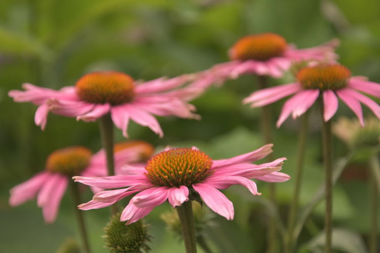 Beautiful pink flowers Beauty In Nature Close-up Coneflower Day Flower Flower Head Flowering Plant Focus On Foreground Fragility Freshness Growth Inflorescence Nature No People Petal Pink Color Plant Plant Stem Pollen Vulnerability